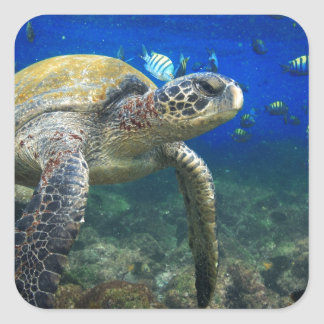 Green sea turtle underwater Galapagos paradise Square Sticker