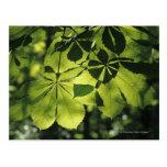 Green Seven Point Leaves with Sun Illumination Postcard
