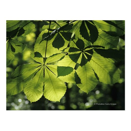 Green Seven Point Leaves with Sun Illumination Post Card