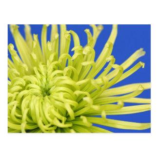 Green Spider Chrysanthemum on Blue Background Postcard