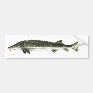Green Sturgeon - Acipenser medirostris Car Bumper Sticker