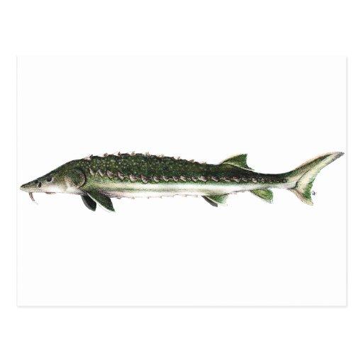 Green Sturgeon - Acipenser medirostris Postcards
