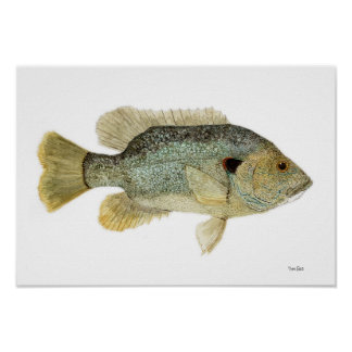 Green Sunfish Watercolor Study Poster