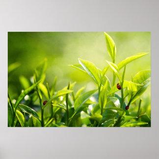 green tea plantation and ladybirds poster