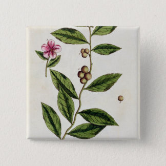 Green Tea, plate 351 from 'A Curious Herbal', publ Pinback Button