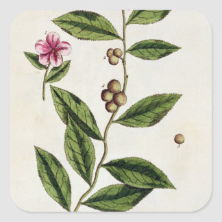 Green Tea, plate 351 from 'A Curious Herbal', publ Square Sticker