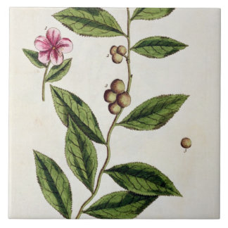 Green Tea, plate 351 from 'A Curious Herbal', publ Large Square Tile