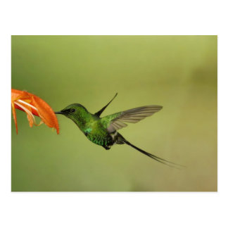 Green Thorntail Hummingbird, Cordillera Postcard