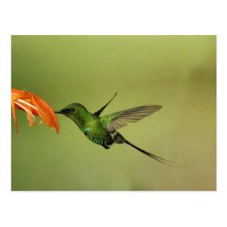 Green Thorntail Hummingbird, Cordillera Postcard