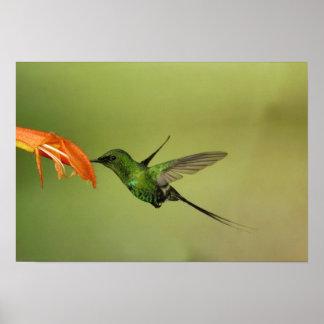 Green Thorntail Hummingbird, Cordillera Print