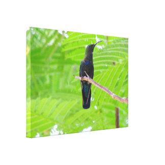 Green Throated Carib Hummingbird Canvas Print