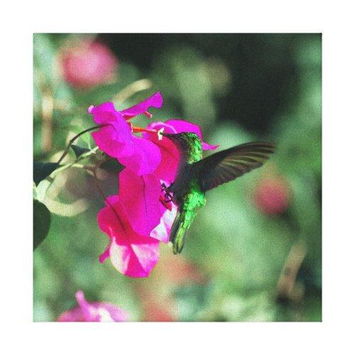 Green Throated Carib Hummingbird on Bougainvillea Canvas Print