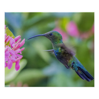 Green Throated Carib Hummingbird Poster