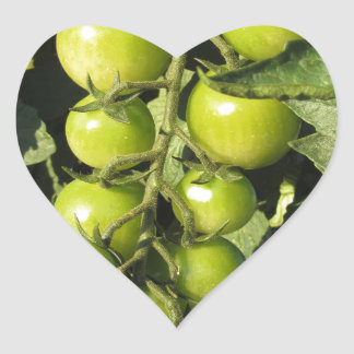 Green tomatoes hanging on the plant in the garden heart sticker
