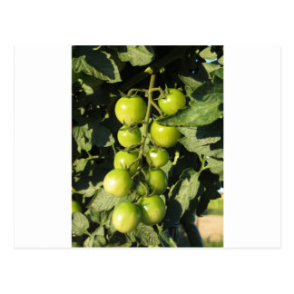 Green tomatoes hanging on the plant in the garden postcard