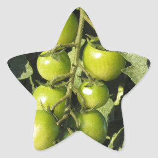 Green tomatoes hanging on the plant in the garden star sticker