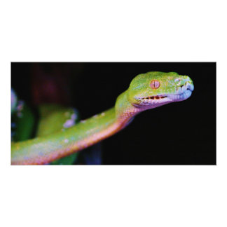 Green Tree Boa Stretching Card