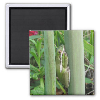 Green Tree Frog (Hyla cinera) 2 Inch Square Magnet