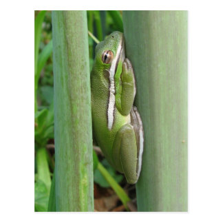 Green Tree Frog (Hyla cinera) Postcard