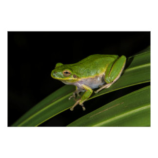 Green Tree Frog (Hyla cinerea) 2 Poster