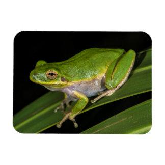 Green Tree Frog (Hyla cinerea) 2 Rectangular Photo Magnet