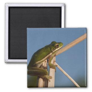 Green Tree Frog Hyla cinerea) Little St 2 Inch Square Magnet