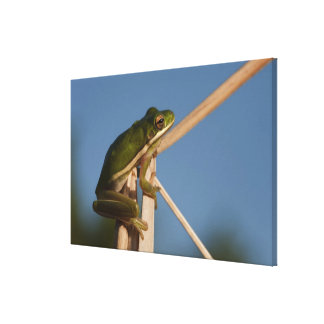 Green Tree Frog Hyla cinerea) Little St Canvas Print