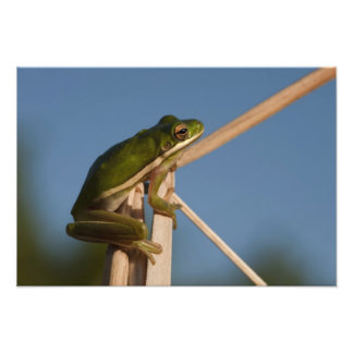 Green Tree Frog Hyla cinerea) Little St Photo Print