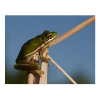 Green Tree Frog Hyla cinerea) Little St Postcard
