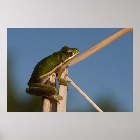 Green Tree Frog Hyla cinerea) Little St Poster