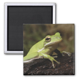 Green Tree Frog, Hyla cineria, 2 Inch Square Magnet