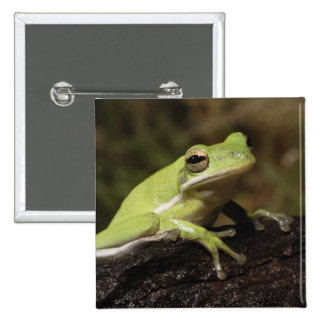 Green Tree Frog, Hyla cineria, 2 Inch Square Button