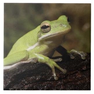 Green Tree Frog, Hyla cineria, Ceramic Tile