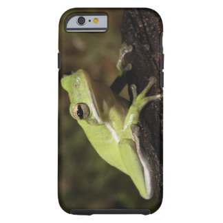 Green Tree Frog, Hyla cineria, iPhone 6 Case