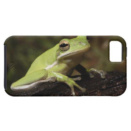 Green Tree Frog, Hyla cineria, iPhone SE/5/5s Case