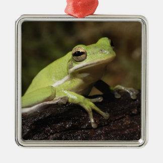 Green Tree Frog, Hyla cineria, Metal Ornament