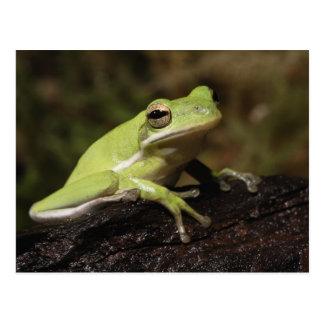 Green Tree Frog, Hyla cineria, Postcard
