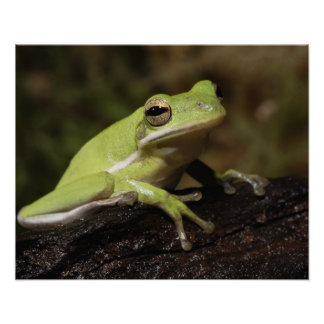 Green Tree Frog, Hyla cineria, Poster