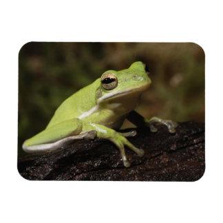 Green Tree Frog, Hyla cineria, Rectangular Photo Magnet