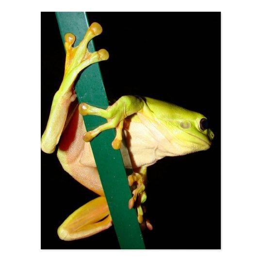 Green Tree Frog Postcard