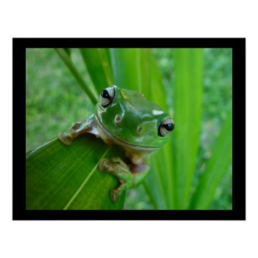 Green Tree Frog Posters & Prints