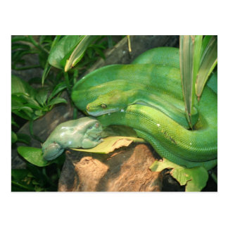 Green Tree Python, and White's Tree Frog Postcard
