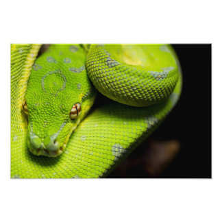 Green Tree Python, Galaxy Photo Print