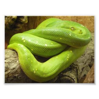Green Tree Python Photo Art