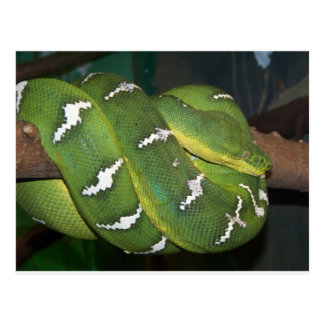 Green Tree Python Post Cards