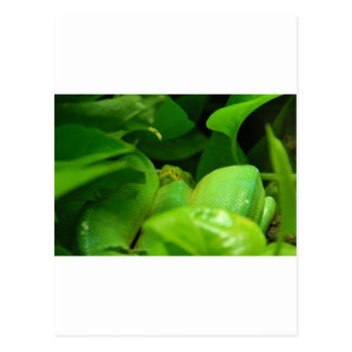 green tree python snake postcard