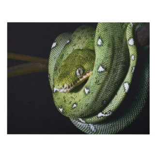 Green tree snake emerald boa in Bolivia Panel Wall Art