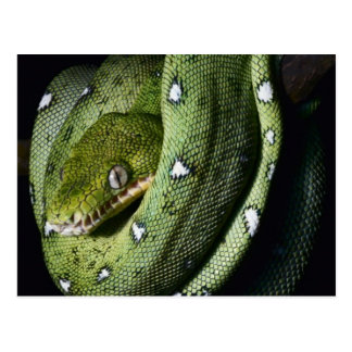 Green tree snake emerald boa in Bolivia Postcard