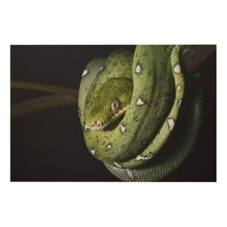 Green tree snake emerald boa in Bolivia Wood Wall Art