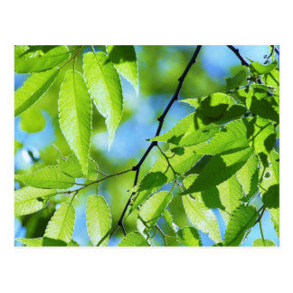 Green Tree Spring Leaves Postcard